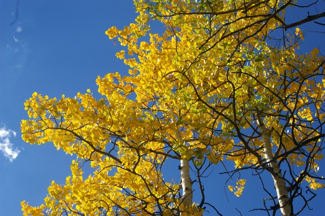 Aspen Leaves and Blue Skies