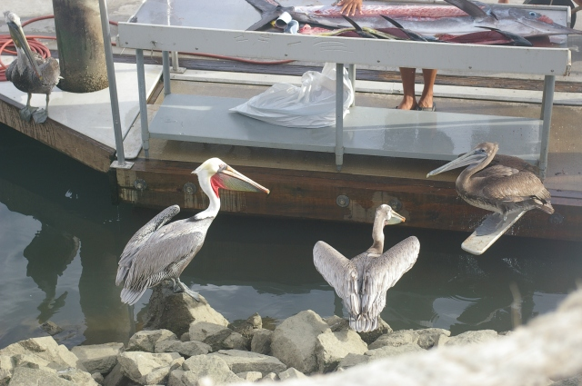 Pelicans Waiting for Their Share