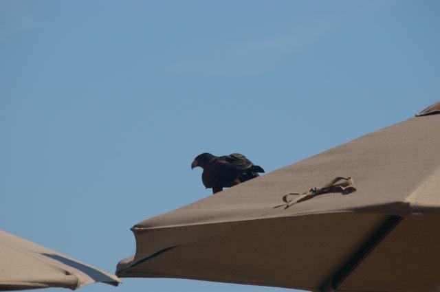 Our Friendly Hawk