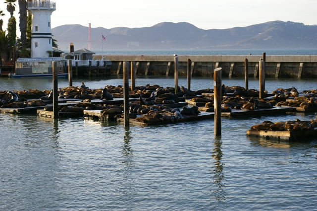 Sea Lions at Pier 39 in Fisherman's Wharf