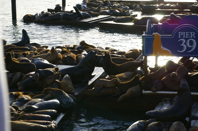 Sea Lions Playing at Pier 39