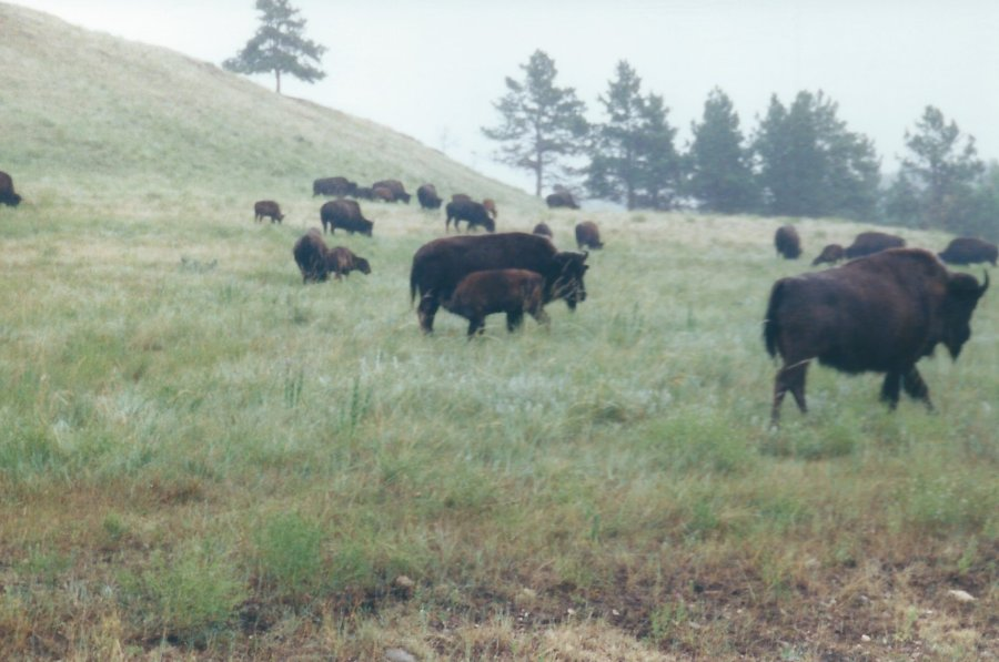 Herd of Buffalo at Custer State Park