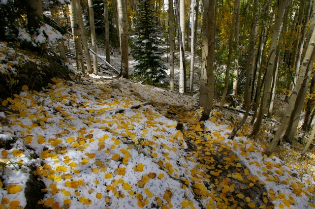 Aspen Leaves on Snow Covered Trail