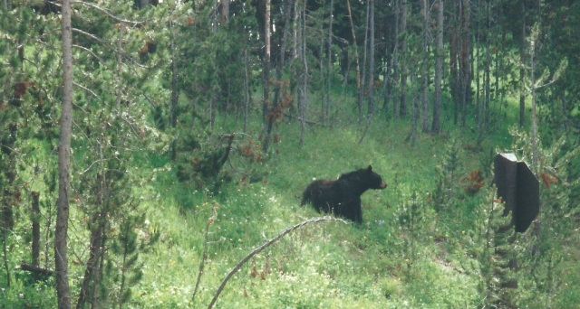 Black Bear - We Were in Yellowstone, Not Hiking