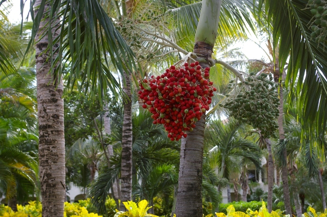 Ripe Fruit on Betel Nut Palm Tree