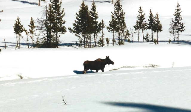 Majestic Moose in Yellowstone