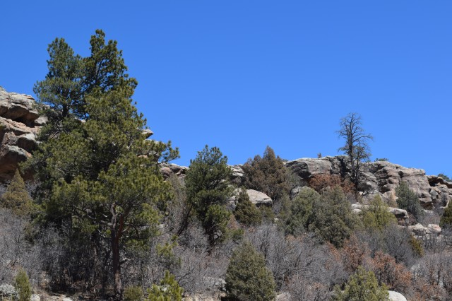 Pine Trees and Boulders