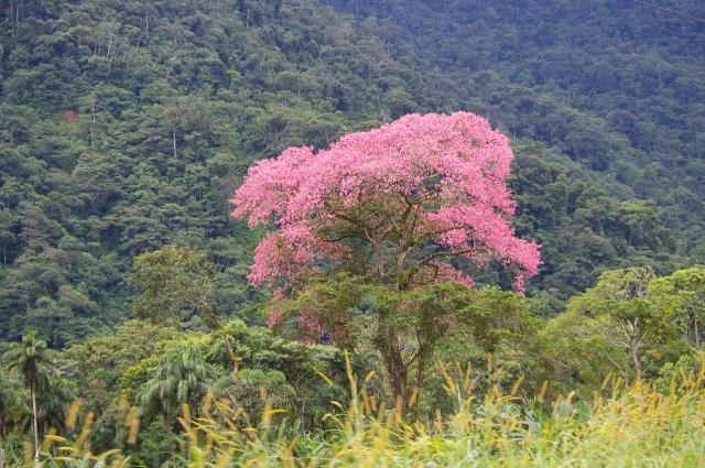 Pink Tree in Bloom