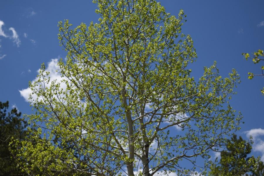 Aspen Tree against the Sky