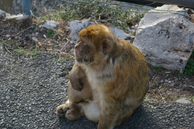 Another Barbary Monkey