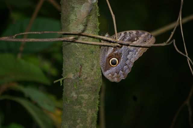 Rare Owl Butterfly