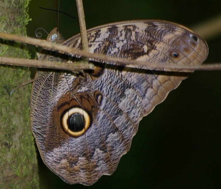 Amazing Owl Butterfly
